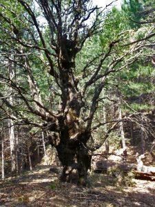 quercia di monte egitto
