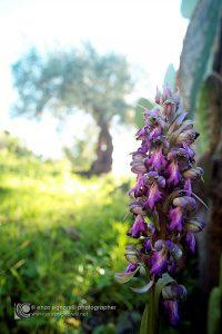 Un esemplare di orchidea spontanea (Himantoglossum robertianum o Barlia robertiana) fiorisce all'ombra dei fichidindia grazie al terreno non contaminato e all'ecosistema pressoch intatto. Sullo sfondo si erge un olivo secolare della varietˆ Nocellara dell'Etna.