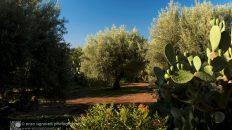 Alberi di olivo prima della potatura che, di norma, viene praticata ogni due anni prevalentemente in inverno oppure all'inizio della primavera. Alcuni preferiscono potare subito dopo la raccolta, specialmente se tardiva.