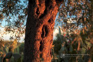 Un tronco di olivo secolare con i caratteristici disegni e rilievi della corteccia