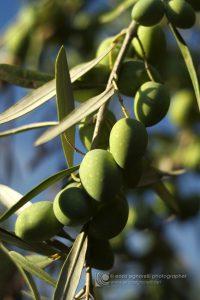 Olive della varietˆ Nocellara Etnea, una cultivar siciliana autoctona diffusa nella zona centro orientale. La Nocellara dell'Etna sopporta bene la carenza di acqua, di conseguenza  adatta ai suoli vulcanici che sono ricchi di rocce e facilmente permeabili.