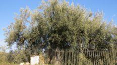 L'Aliva 'Mpittata (Foto S. Scalia)
