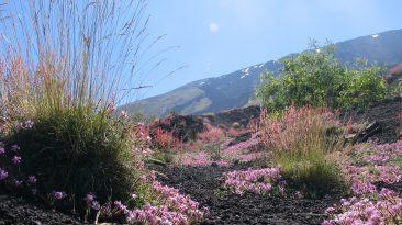 78 Etna Saponaria Foto simbolica Parco
